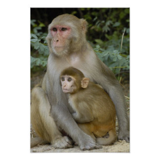 Rhesus Macaques Macaca mulatta) mother & baby Posters