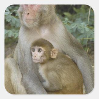 Rhesus Macaques Macaca mulatta) mother & baby Square Sticker