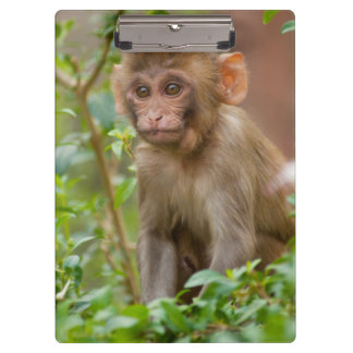 Rhesus Monkey Baby, Monkey Temple, Jaipur Clipboard