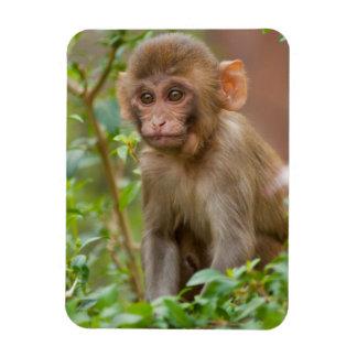 Rhesus Monkey Baby, Monkey Temple, Jaipur Magnet