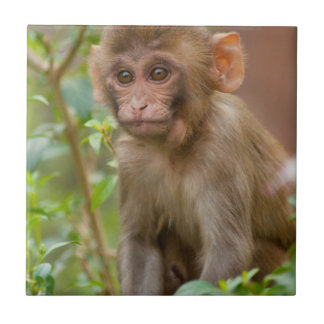 Rhesus Monkey Baby, Monkey Temple, Jaipur Tile