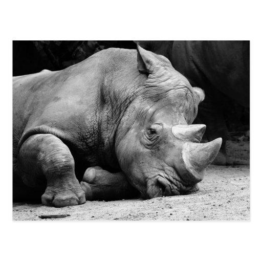 Rhino Black and White Postcards