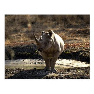 Rhino, front view postcard