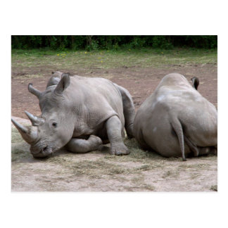Rhinos Postcard