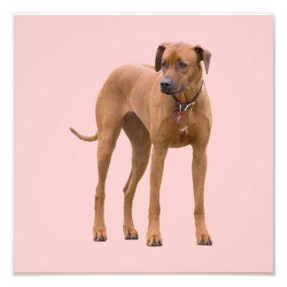 Rhodesian Ridgeback dog beautiful photo, gift