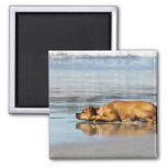 Rhodesian Ridgeback - Is the Water Cold? Square Magnet