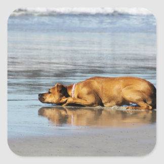 Rhodesian Ridgeback - Is the Water Cold? Square Sticker