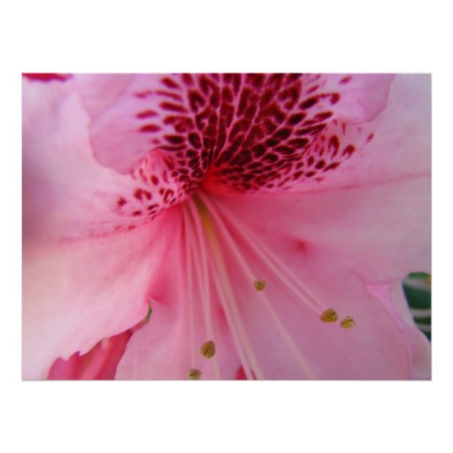 Rhodies Pink Floral Healing Art gifts Nature Poster