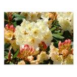 Rhodies Yellow Cream Orange Rhododendro Flowers