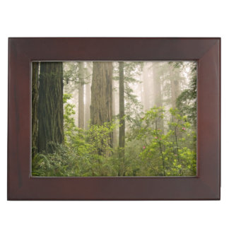 Rhododendron blooming among the Coast Redwoods / Keepsake Box