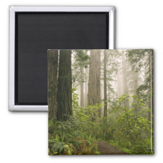 Rhododendron blooming among the Coast Redwoods / Square Magnet