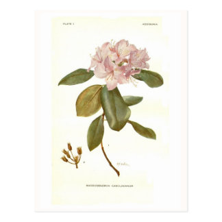 Rhododendron carolinianum post cards