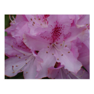 Rhododendron close up postcard