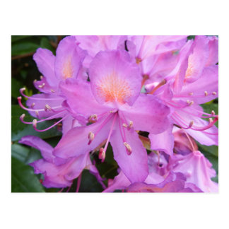 Rhododendron Flower Postcard