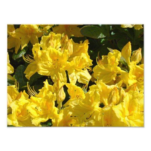 Rhododendron Flowers Photography Fine Art Prints Photograph