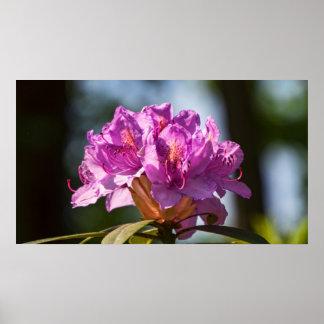 Rhododendron in der Sonne Print