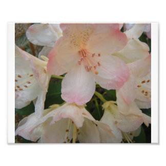 Rhododendron Photo Print