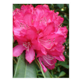 Rhododendron Postcard
