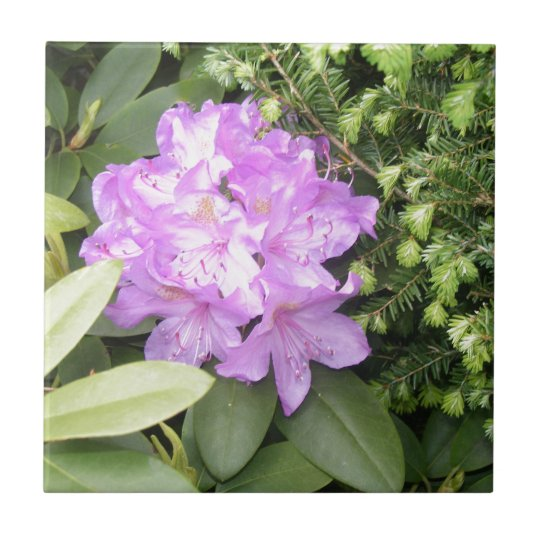 Rhododendron - Purple Flowers in Spring Small Square