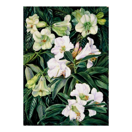 Rhododendrons of North India, botanical art Poster