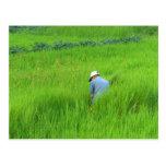 Rice harvest in Waegwan, Southkorea Postcards