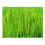 Rice harvest, Waegwan, Southkorea Postcard