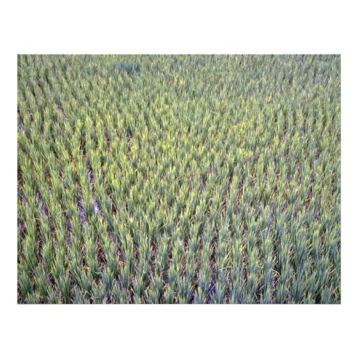 Rice paddy, Indonesia Flyers