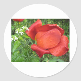 Rich red tulip and sweet white round sticker