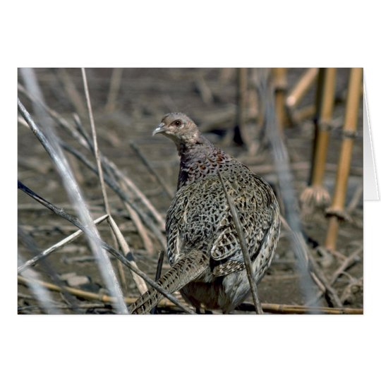 Ring-necked hen pheasant, alert and wary in open f card