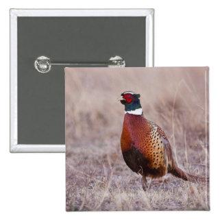 Ring-necked Pheasant Phasianus colchicus) 15 Cm Square Badge