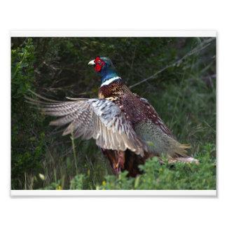 Ring Necked Pheasant Photo Art