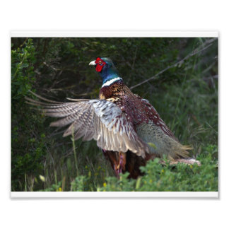 Ring Necked Pheasant Photographic Print