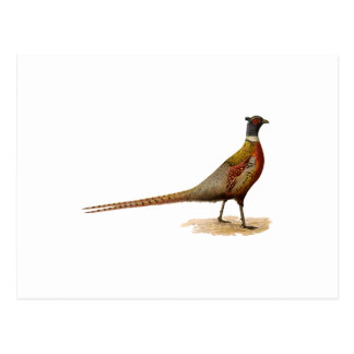 Ring-necked Pheasant Postcard