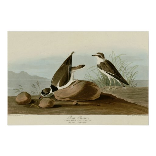 Ring Plover Poster