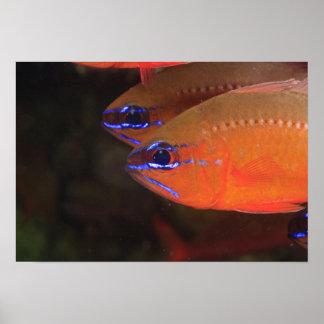 Ring-tailed Cardinalfish Apogon aureus) Milne Poster