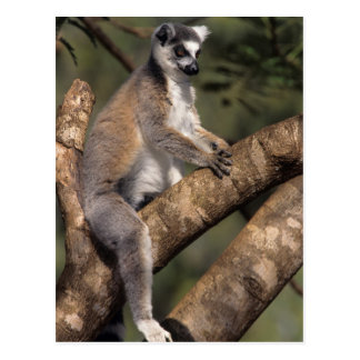 Ring-Tailed Lemur (Lemur Catta), Berenty Postcard