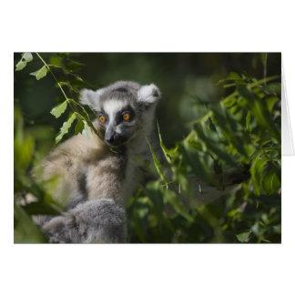 Ring tailed lemur (Lemur catta), Madagascar Card