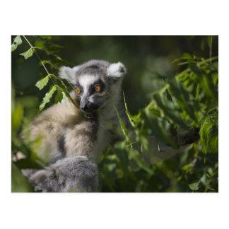 Ring tailed lemur (Lemur catta), Madagascar Postcard