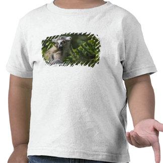 Ring tailed lemur (Lemur catta), Madagascar Tshirt