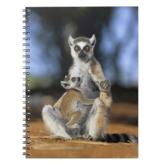 Ring-tailed Lemur, (Lemur catta), Mother and Notebook