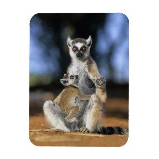 Ring-tailed Lemur, (Lemur catta), Mother and Rectangular Photo Magnet