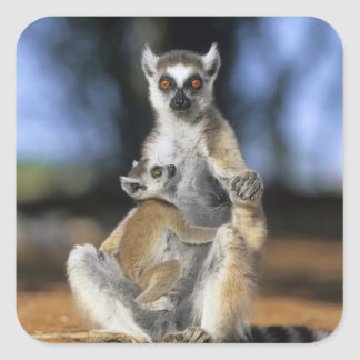 Ring-tailed Lemur, (Lemur catta), Mother and Square Sticker