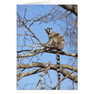 Ring-tailed Lemur (Lemur catta) warming in tree Card