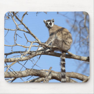 Ring-tailed Lemur (Lemur catta) warming in tree Mouse Mat