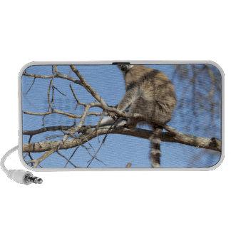 Ring-tailed Lemur (Lemur catta) warming in tree PC Speakers