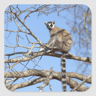 Ring-tailed Lemur (Lemur catta) warming in tree Square Sticker