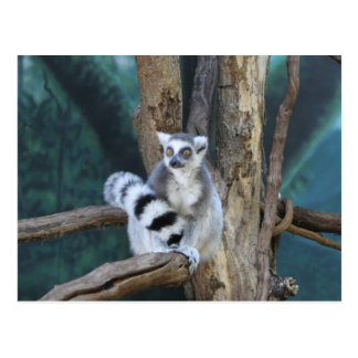 Ring-tailed lemur postcard