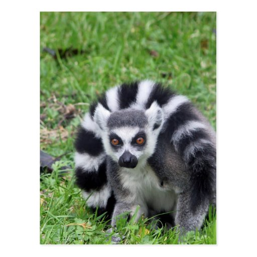 ring tailed lemur waiting for mom and lover post card