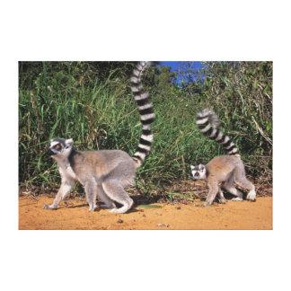 Ring-Tailed Lemurs (Lemur Catta), Berenty Canvas Print