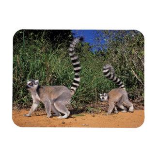 Ring-Tailed Lemurs (Lemur Catta), Berenty Magnet